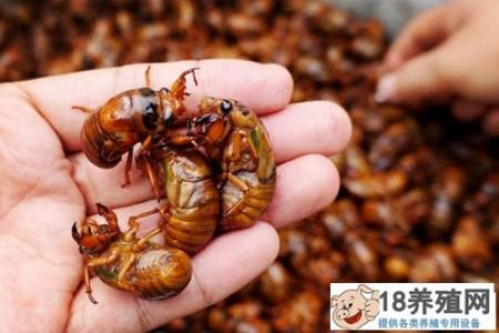 金蝉养殖效益 _昆虫养殖(养金蝉的技巧)