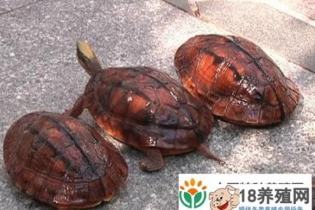 江门:龟农约5000人,年产值10亿元 _水产养殖(养乌龟的技巧)