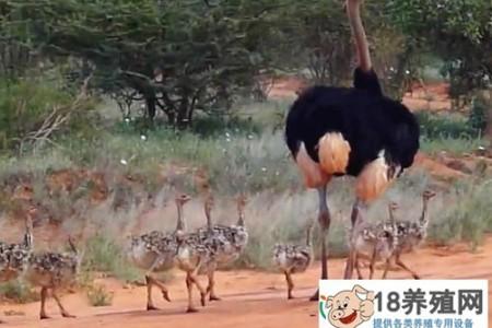 鸵鸟苗的饲养与管理 _禽类养殖(养鸵鸟的技巧)