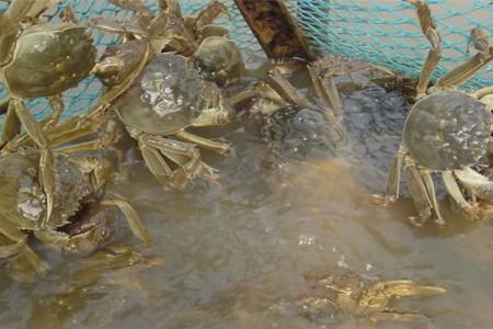 大闸蟹养殖的疾病控制