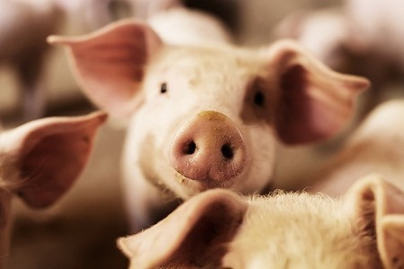 官方信号:5月后,生猪价格可能会出现一波上涨,但有一个稳定的价格基础