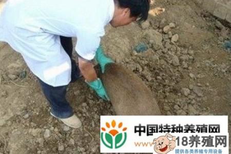 竹鼠常见疾病的防治技术 _动物养殖(养竹鼠的技巧)
