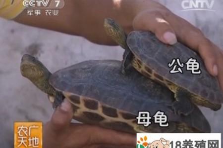 中国花龟养殖技术视频 _水产养殖(养乌龟的技巧)