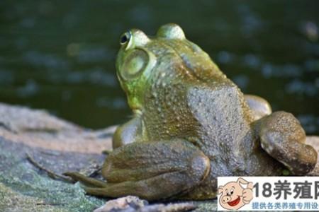 牛蛙哪些部位不能吃? _水产养殖(养牛蛙的技巧)