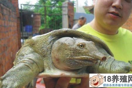 """""""生态龟""""在浙江宁海陈建华的九清池已经养殖了五年 _水产养殖(养甲鱼的技巧)"""