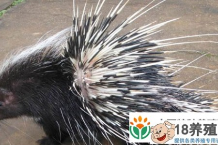 豪猪刺有什么作用和效果 _动物养殖(养豪猪的技巧)