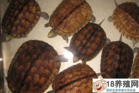 有哪些种类的乌龟?你养哪种乌龟赚钱? _水产养殖(养乌龟的技巧)