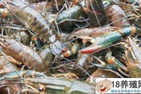 """尝试养殖每亩盈利1万元的澳洲龙虾,""""游""""出致富新路子! _水产养殖(养河虾的技巧)"""