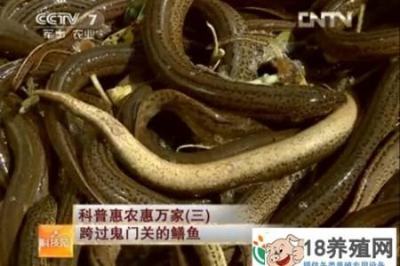 鳗鱼全年安全越冬效益好 _水产养殖(养泥鳅的技巧)