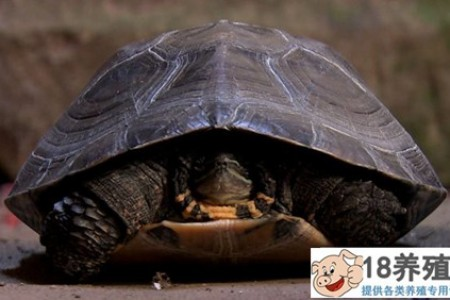 """下岗工人邓德明养的""""臭乌龟"""",年销售额超1亿元(20150203) _水产养殖(养乌龟的技巧)"""