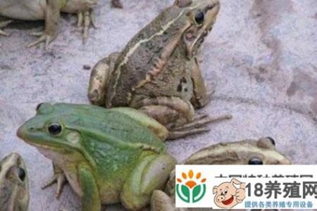 牛蛙是青蛙吗? _水产养殖(养牛蛙的技巧)