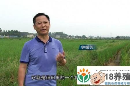 钟不用化肥和药物种植水稻。一亩地年收入一万元 _水产养殖(养甲鱼的技巧)