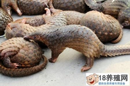 缅甸边境非法穿山甲贸易现状 _动物养殖(养穿山甲的技巧)