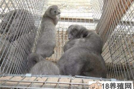 水貂冬季保种管理要点 _动物养殖(养水貂的技巧)