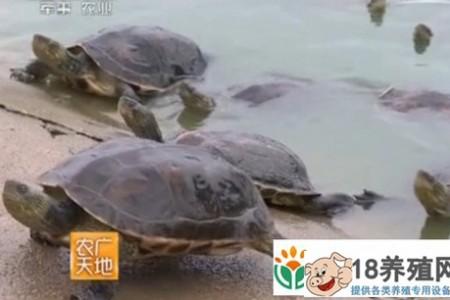 中华花龟养殖技术 _水产养殖(养乌龟的技巧)