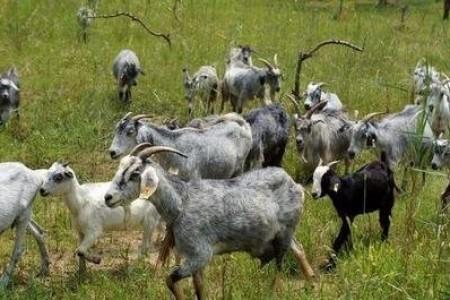 养绿山羊挣钱吗?养绿山羊的利润和成本分析!
