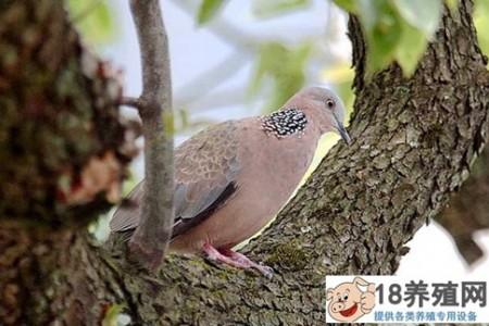 斑鸠一年繁殖多少窝 _禽类养殖(养斑鸠的技巧)