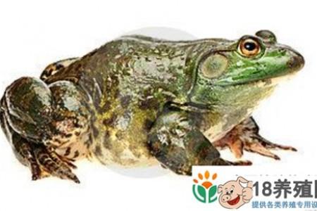 牛蛙流水养殖有哪些技术 _水产养殖(养牛蛙的技巧)
