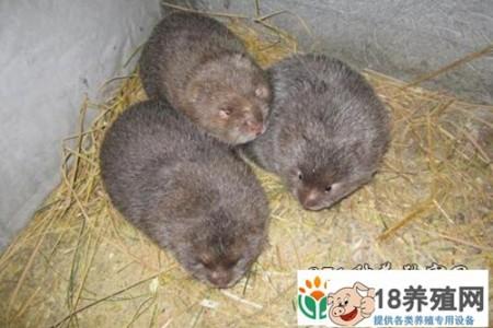 溆浦县在楚平养竹鼠,带动贫困户脱贫致富 _动物养殖(养竹鼠的技巧)