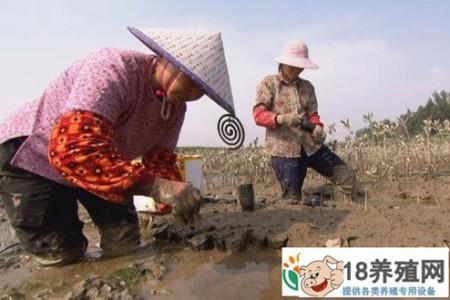 在红树林下养海鸭和青蟹捞取横财 _水产养殖(养河蟹的技巧)