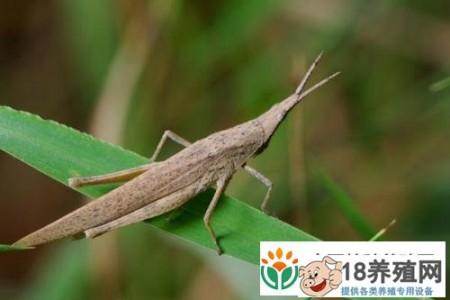 饲养和管理蝗虫的经验 _昆虫养殖(养蚂蚱的技巧)