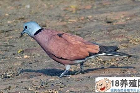 火斑鸠栽培技术 _禽类养殖(养斑鸠的技巧)