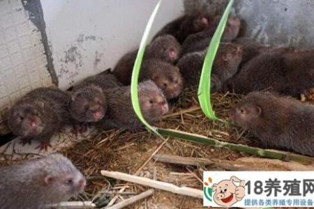 竹鼠好养吗?竹鼠养殖成功案例 _动物养殖(养竹鼠的技巧)