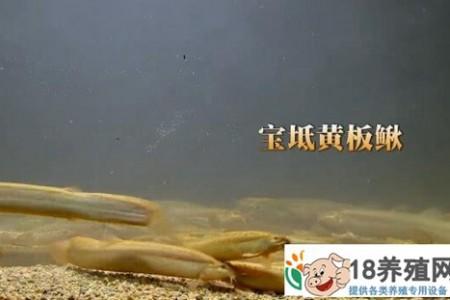 天津宝坻高建忠养黄腹泥鳅 _水产养殖(养泥鳅的技巧)