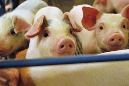 """日本正式失去了猪瘟""""净化国家""""的资格,复苏前景堪忧"""