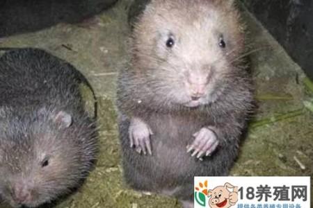 如何判断竹鼠是否怀孕 _动物养殖(养竹鼠的技巧)