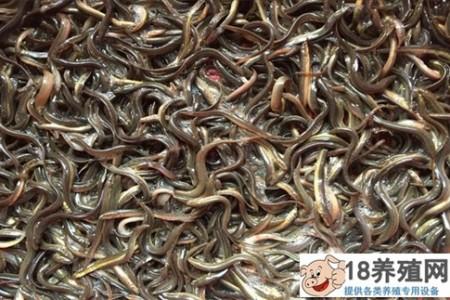泥鳅的饲料配方有哪些 _水产养殖(养泥鳅的技巧)