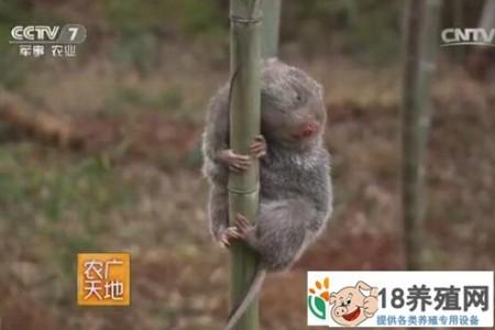 生活在外国建筑里的竹鼠湖南郴州杨明华有一个饲养竹鼠的好方法 _动物养殖(养竹鼠的技巧)