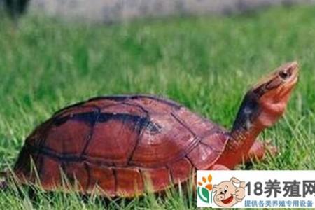 一种饲养金龟子的方法 _水产养殖(养乌龟的技巧)