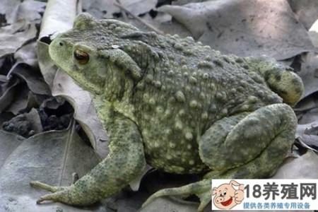 蟾蜍常见疾病的防治 _水产养殖(养蟾蜍的技巧)