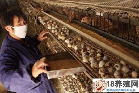 鹌鹑养殖技术:鹌鹑养殖/饲养/控制 _禽类养殖(养鹌鹑的技巧)