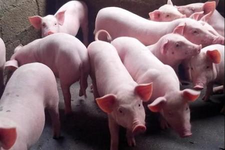 猪生病如何第一时间识别