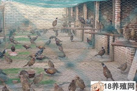 中草药在雉鸡养殖中的应用 _禽类养殖(养山鸡的技巧)