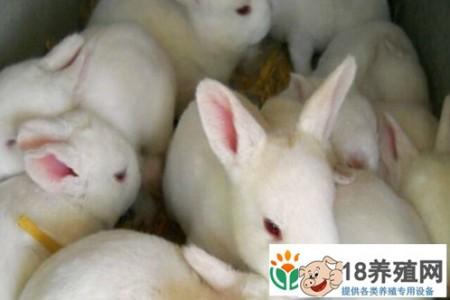 养殖兔子能认出它们的主人吗 _动物养殖(养兔子的技巧)