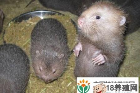 一斤竹鼠多少钱?2017年养100只竹鼠的成本和利润是多少? _动物养殖(养竹鼠的技巧)
