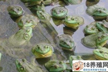 2020年牛蛙的收购价是多少? _水产养殖(养牛蛙的技巧)