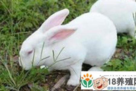 肉兔和宠物兔有什么具体的区别 _动物养殖(养兔子的技巧)
