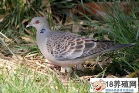 斑鸠常见疾病的防治技术 _禽类养殖(养斑鸠的技巧)