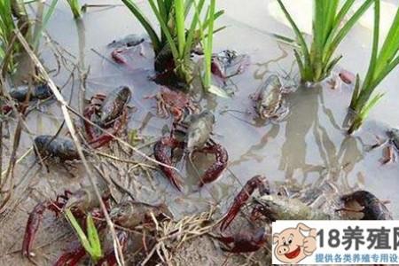 专家为疫情期间的稻虾养殖管理出谋划策! _水产养殖(养河虾的技巧)