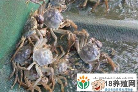 如果蟹苗在适应期死亡怎么办 _水产养殖(养河蟹的技巧)