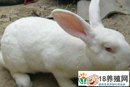 獭兔新价格走势如何? _动物养殖(养兔子的技巧)