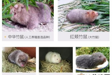 竹鼠养殖的收益、成本及市场前景分析 _动物养殖(养竹鼠的技巧)