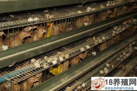 鹌鹑蛋的营养价值高吗?(鹌鹑蛋价值分析) _禽类养殖(养鹌鹑的技巧)
