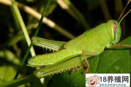 蟑螂和蚱蜢也可以出口创汇。湖南省首次向美国出口保鲜昆虫 _昆虫养殖(养蚂蚱的技巧)