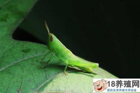 蝗虫蛋白在食品和医药中的应用 _昆虫养殖(养蚂蚱的技巧)