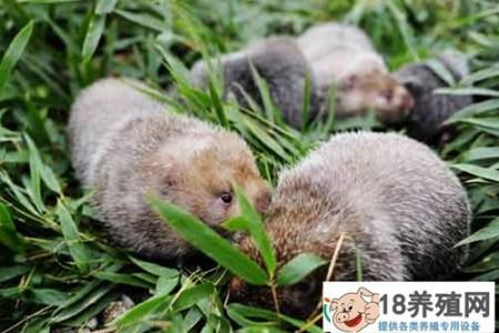 重庆刘墉饲养竹鼠的招数很多,竹鼠打洞也是个谜 _动物养殖(养竹鼠的技巧)